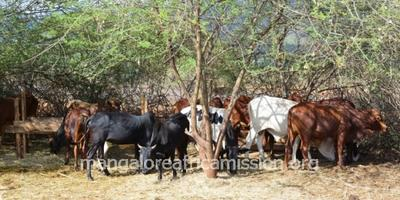 Cattle Farming at St. Joseph Farm